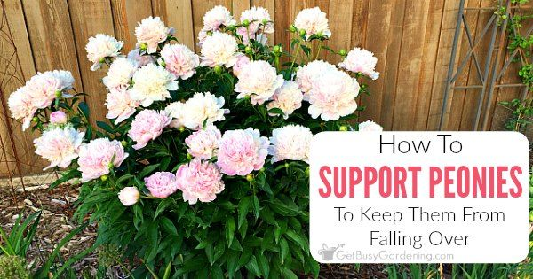 If peony flowers are left unsupported, they will fall over. Learn about peony supports, how to keep peonies from drooping, and other peony care tips.