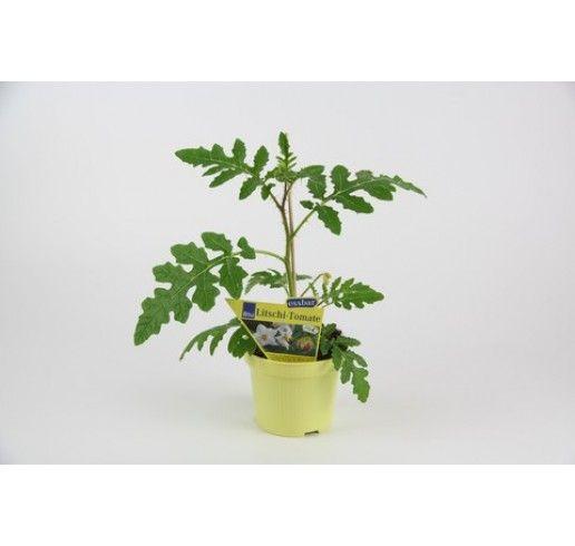 Solanum sisymbrifolium / Liči paradajky, K12