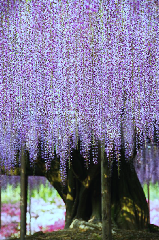 Httpindigosoultumblrcom Giant Wisteria Ashikaga Flower - Beautiful wisteria plant japan 144 years old