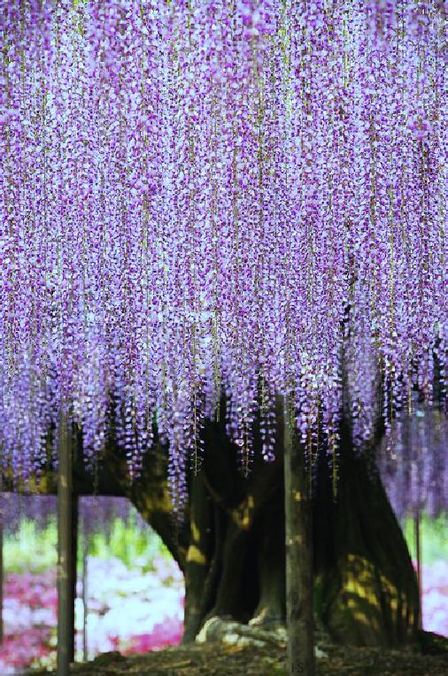 Http Indigo Soul Tumblr Com Giant Wisteria Ashikaga Flower Park In Tochigi Japan Beautiful Flowers Beautiful Tree Beautiful Nature