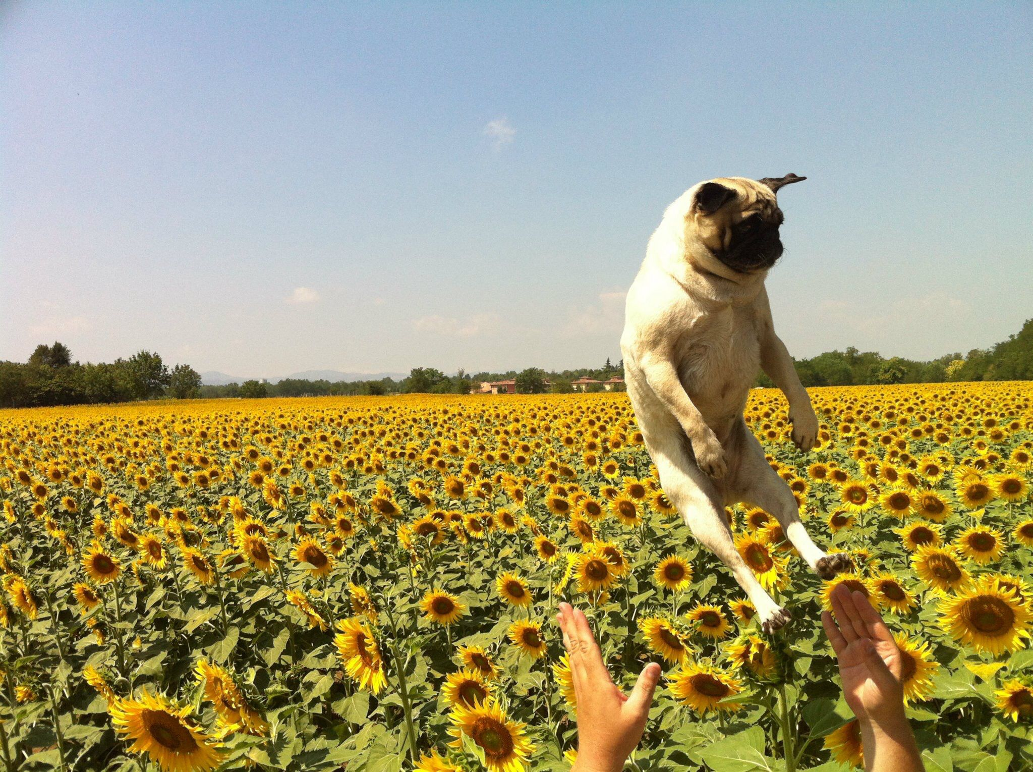 Celebrating Pugs and summer in Tuscany with Isabelle Pug | About