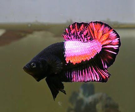 Pretty in pink betta emerges classification confuses for Fish in indiana