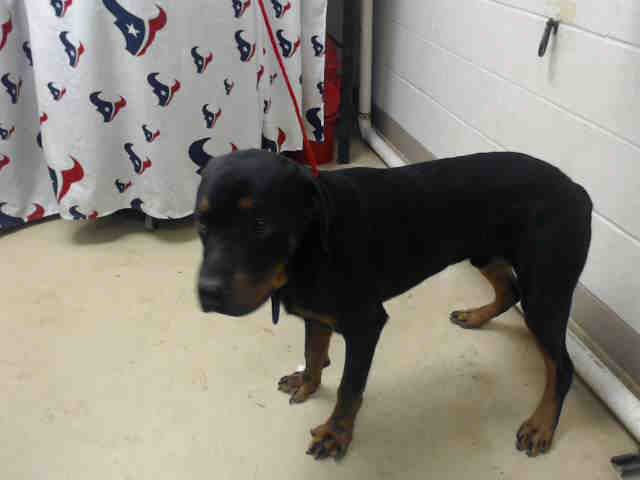 This Dog Id A468200 Urgent Harris County Animal Shelter In