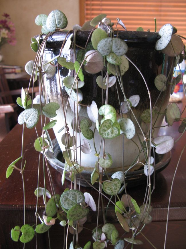 Pin On Indoors: Pin On Indoor Plants