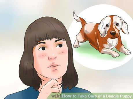 Take Care Of A Beagle Puppy Beagle Puppy Beagle Beagle Dog
