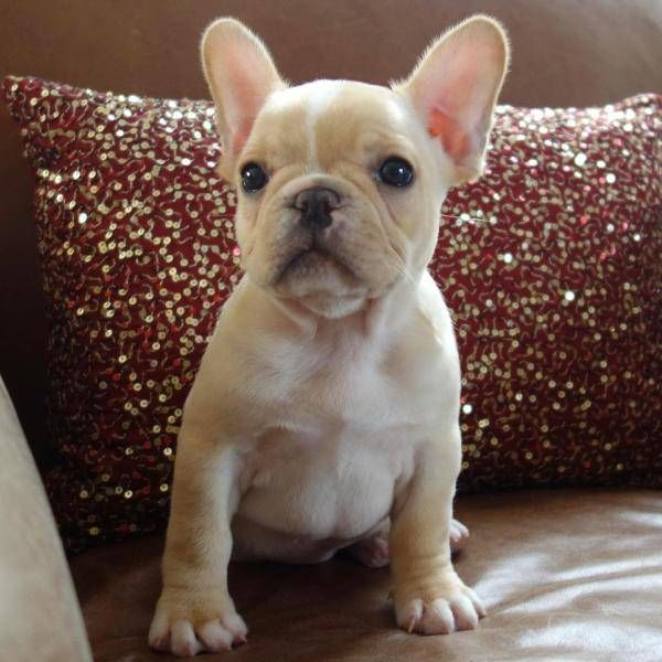 Poetic French Bulldog S Fawn Cream White Female Puppy Champ Lines Want This To Be Our Next Frenchie
