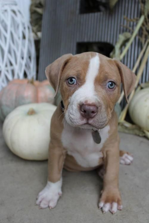 Adopt Krieger On Cute Dogs Pitbulls Rescue Dogs