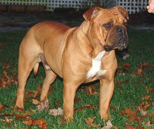 Old English Bulldogge Reminds Me Of Wrigley Animals Pets Dogs