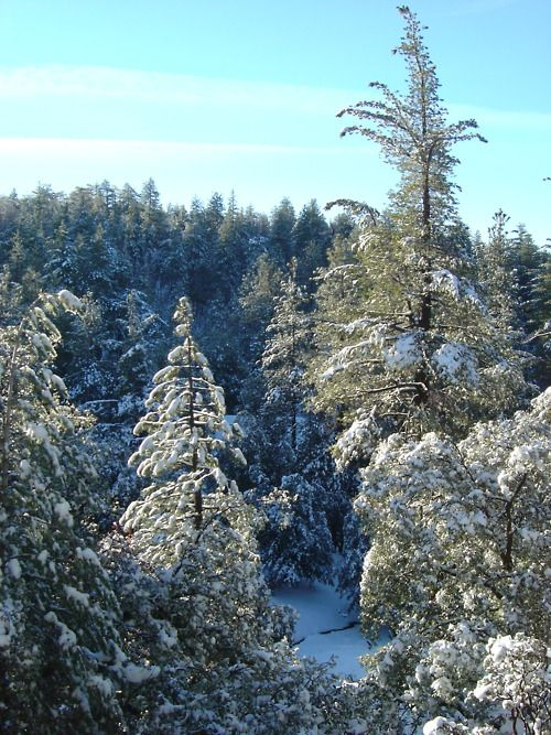 Snowy trees in Idyllwild, CA | My Photos in 2019 | Riverside