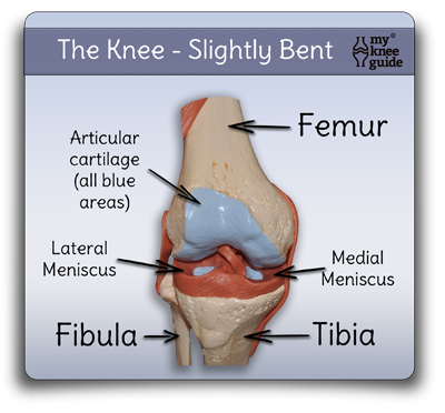 Anatomy the function of the knee is dependent on many structures anatomy the function of the knee is dependent on many structures ccuart Choice Image