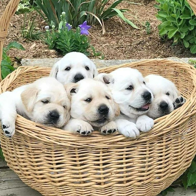fox red lab puppies for sale in new england