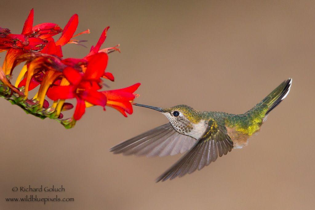 Broad-tailed Hummingbird feeding. by Richard Goluch on 500px