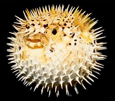 Puffer fish google search fish globe pinterest for Puffer fish facts