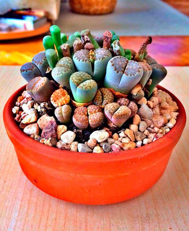 El lithops o cactus piedra El desierto Desiertos y Cactus