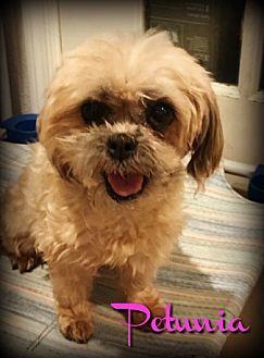 Shih Tzu Maltese Mix Dog For Adoption In Phoenix Arizona Petunia Shih Tzu Shih Tzu Maltese Mix Dog Adoption