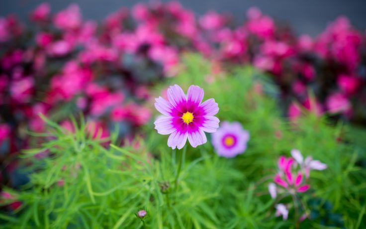 Nature Flower Garden Cosmos Pink Hd Wallpaper Pink Flowers Background Flower Background Wallpaper Flower Photos