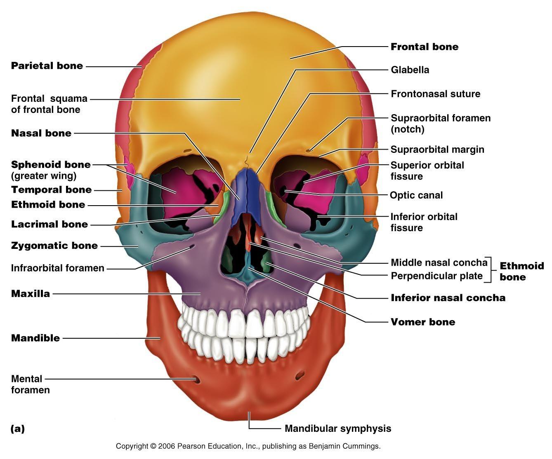 Human Anatomy Pearson Blank Skull The 206 Named Bones Of