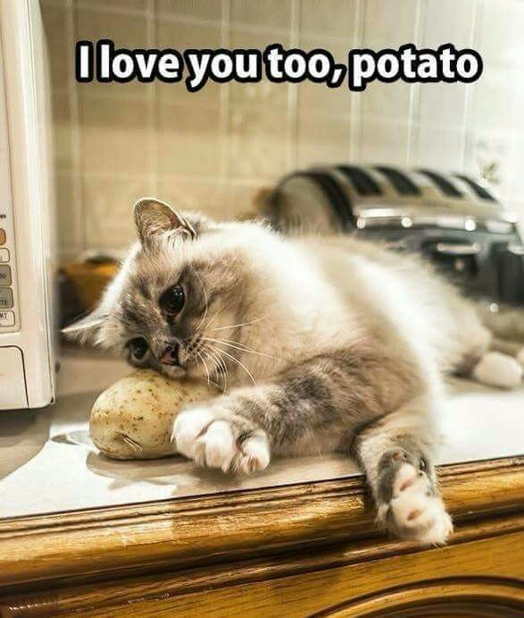 Love You Too Potato Cat Funny Animal Pictures Funny Cat Memes Funny Animal Quotes