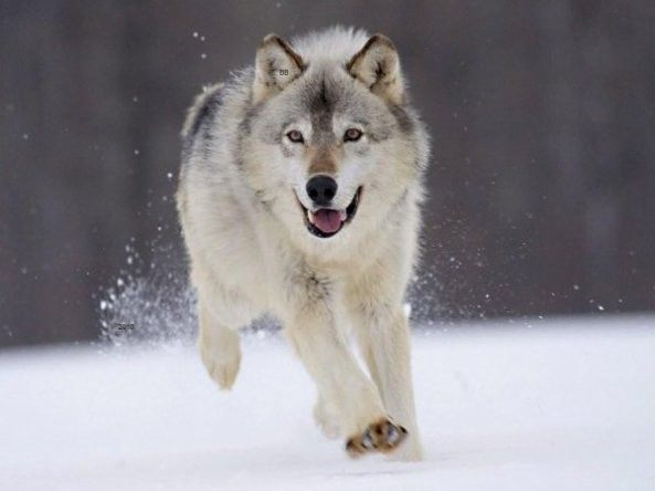 Favorit Animaux - Loup blanc des neiges | Wolfs | Pinterest | Loups blancs  IU37