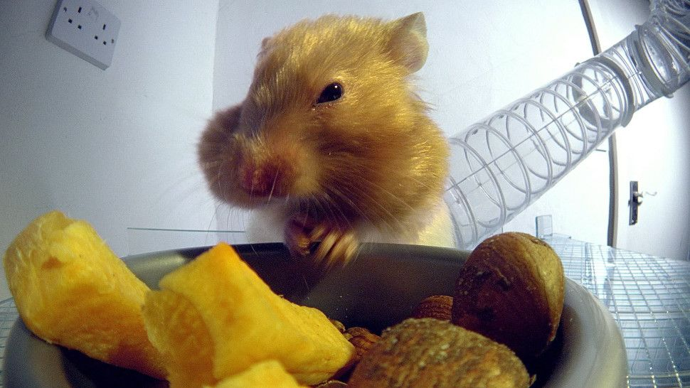 0169cdc3f5aa2fe9c5292872bcdfeffd - How To Get Food Out Of Hamster S Cheeks