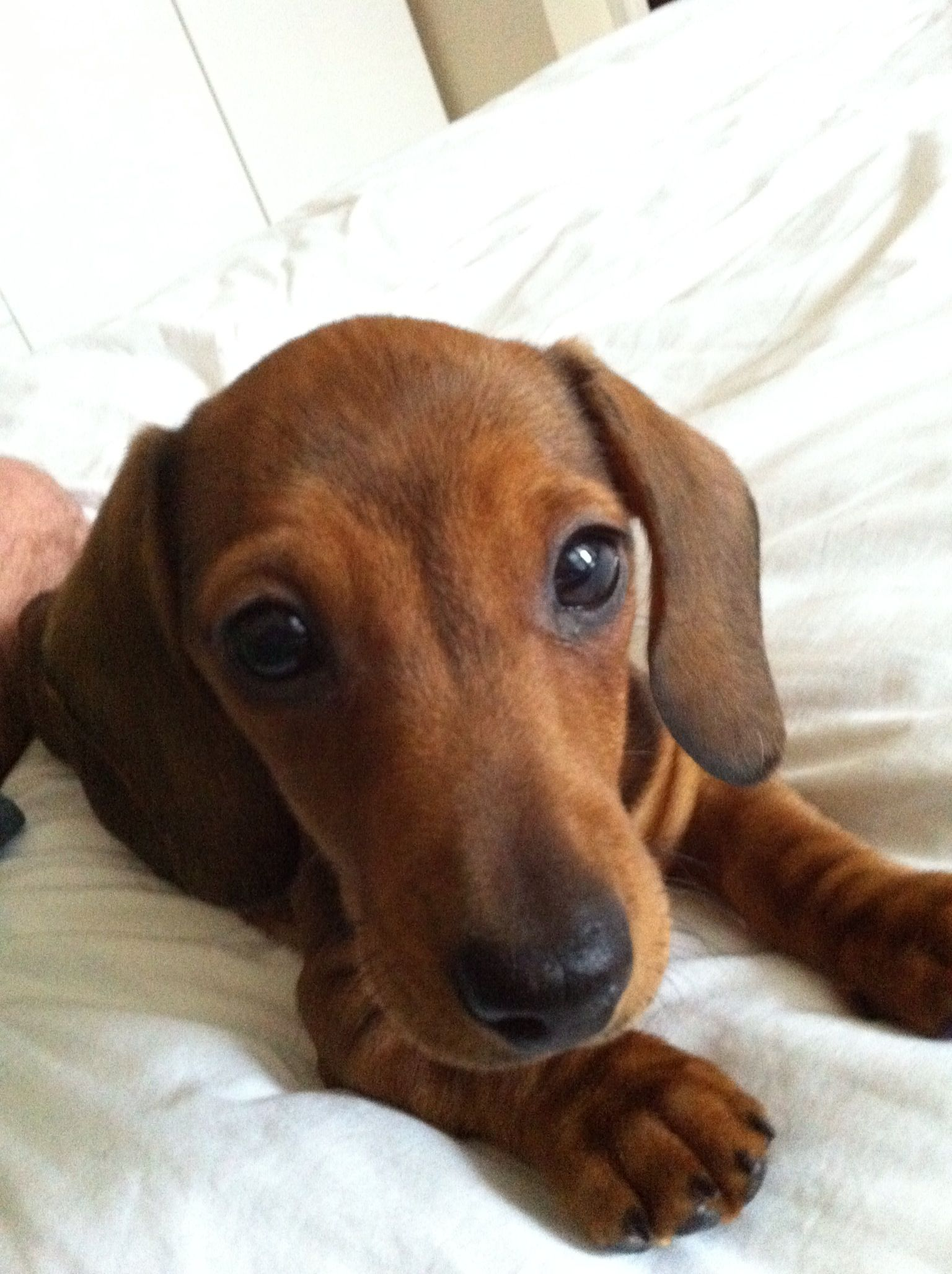 Pin By Jane Webster On Dachshunds And Pups Hound Puppies Dachshund Love Dachshund Puppies