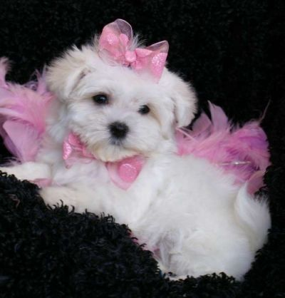 Teacup Maltese So Adorable 3 I M Determined To Have One Teacup Puppies Maltese Maltese Puppy Kittens And Puppies