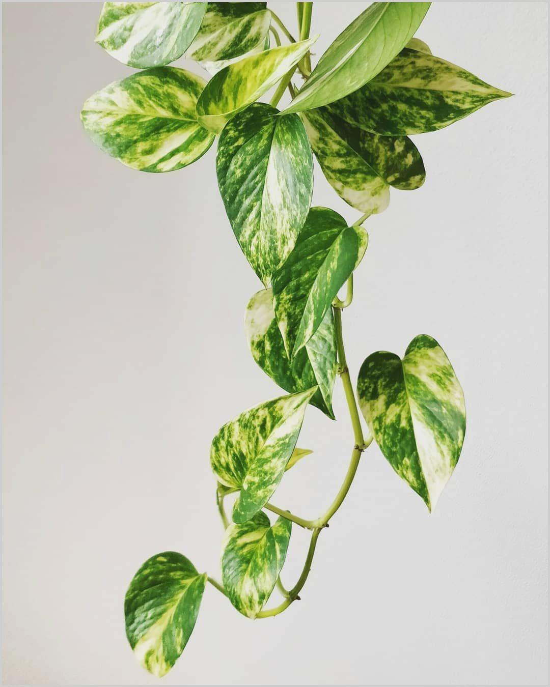 Money Plant Decoration In Living Room In 2020 Indoor Tree Plants Variegated Plants Growing Plants Indoors