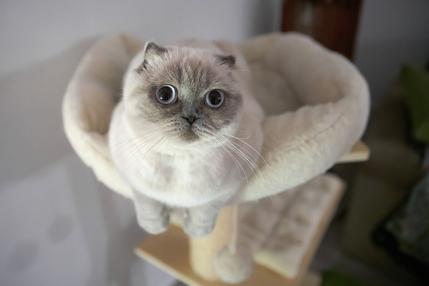 Setting Up A Safe Room For Your Cat Cat Scottish Fold Scottish Fold Kittens Cats And Kittens