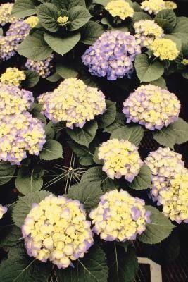 Should Hydrangeas Be Deadheaded Tips For Deadheading And Changing Color Summer Hydrangeas Endless Summer Hydrangea Shade Tolerant Plants
