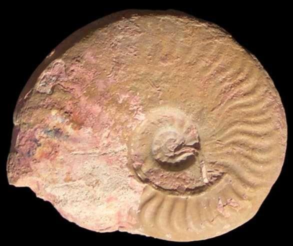 Leioceras (Leioceras) gr. comptum