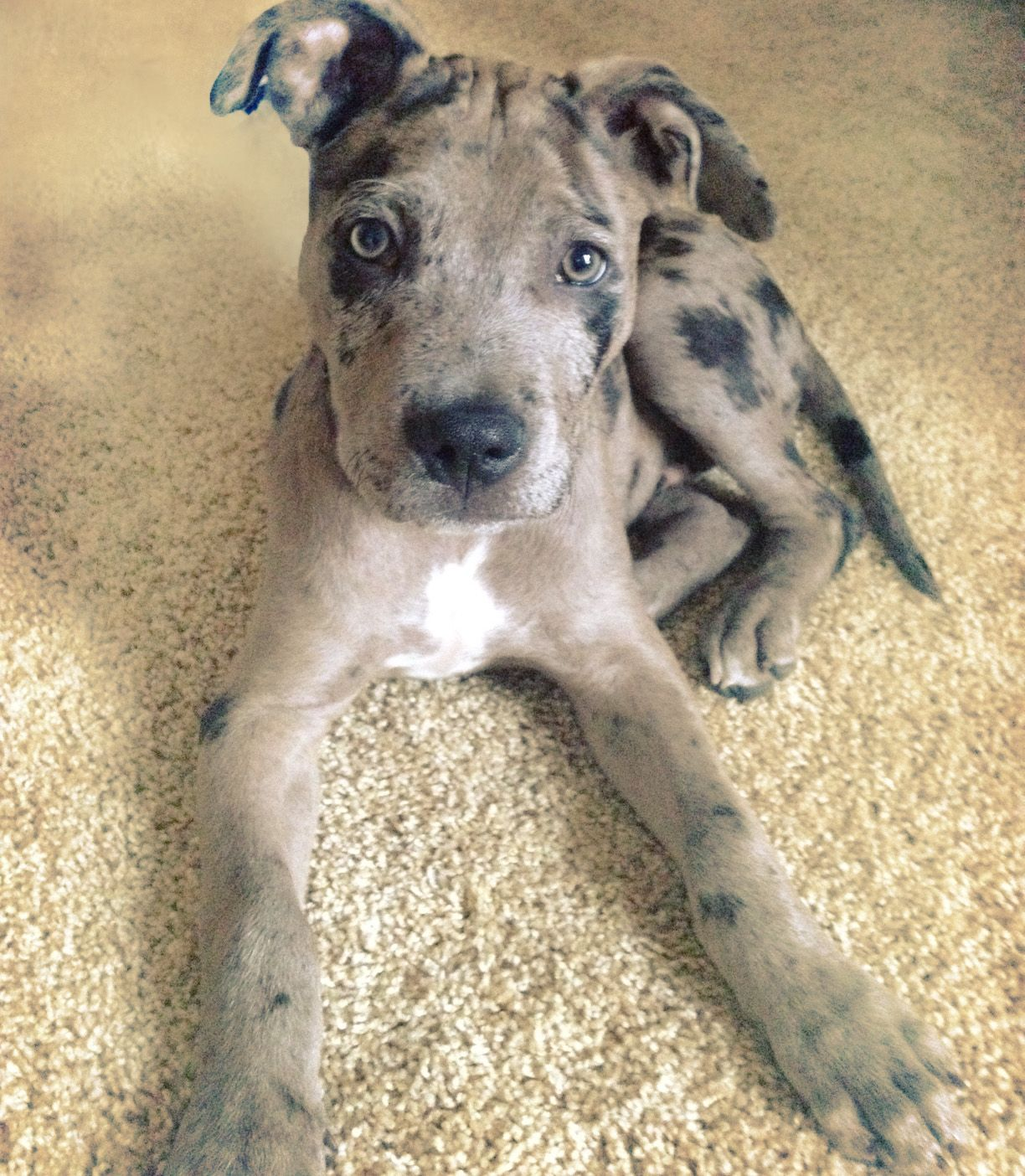 Pitahoula Pitbull X Catahoula Leopard Dog Pitbull Mix