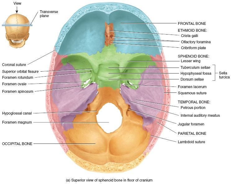 sphenoid bone … | pinteres…, Human Body
