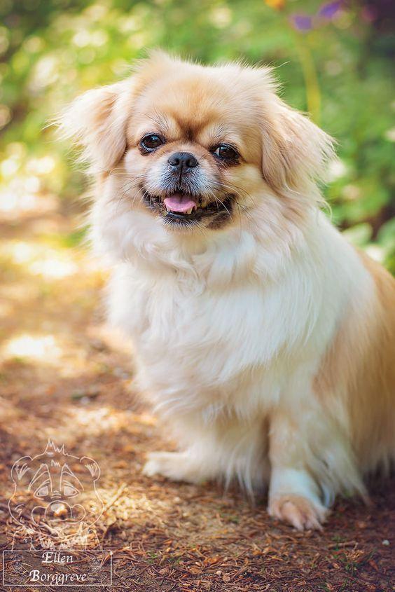 Source Handsomedogs Tumblr Com Tibetan Spaniel Pekingese Puppies Pekingese Dogs Spaniel Breeds