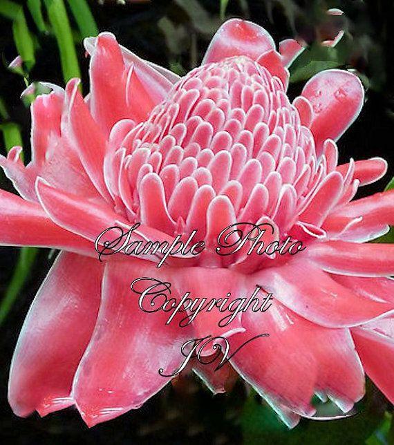 Pink Flowering Tropical Ginger Etlingera elatior 8 Seedsbuds burst intobright pink heads Cut Flower Container or Standard Gardening