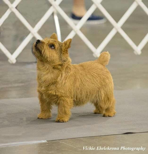Pin On Norwich Terrier