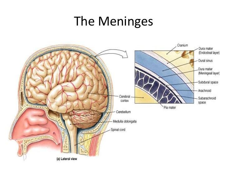 The meninges cst pinterest explore these ideas and more the meninges ccuart Choice Image