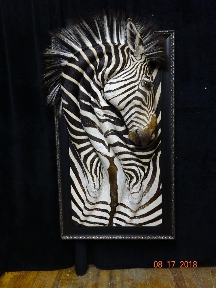 Zebra Taxidermy Wall Art New Mount Zambia Africa 51 Inches Tall Rare Artwork Artwork Art Zambia Africa