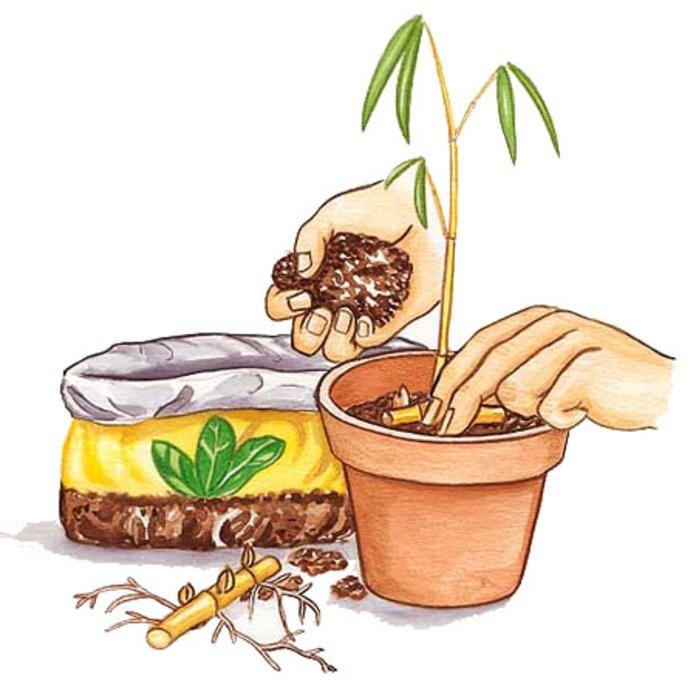 Bambus vermehren Bambus vermehren, Bambus pflanzen und