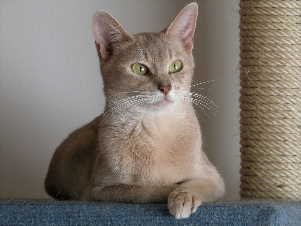Color cats like - Lilac Colored Cats Encyclopedia Of Cats Breed Lilac Abyssinian Cat