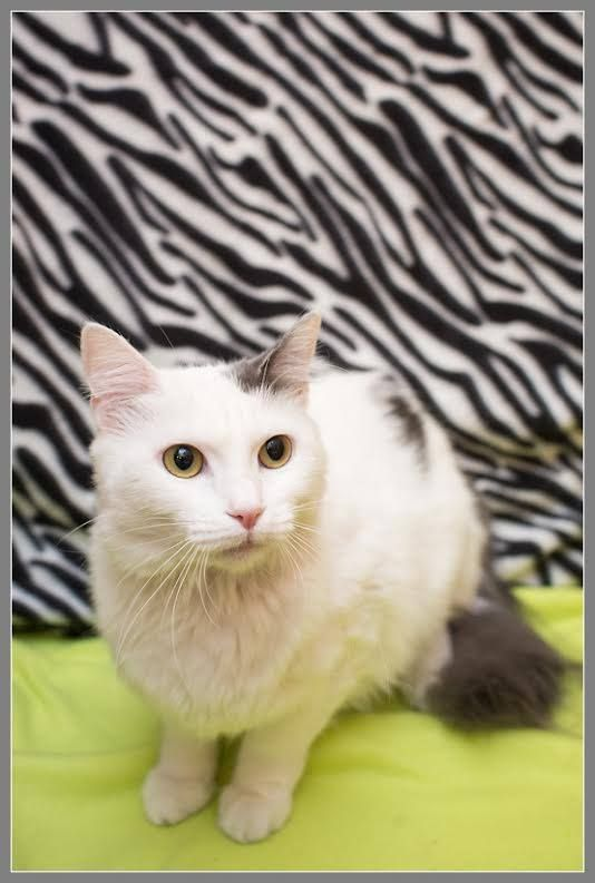 Purr Ty Please Share Lady Purr Hoping For Everyone S Help To Find Her A Forever Home She Is Appearing Petsmart 195 Cat Adoption Cat Rescue Cats And Kittens