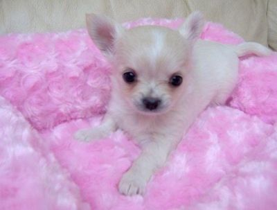 Free Chihuahua Puppy Wow Top Quality Chihuahua Puppies Free To Sweet Home Northern Ireland Teacup Chihuahua Puppies Puppies Baby Chihuahua