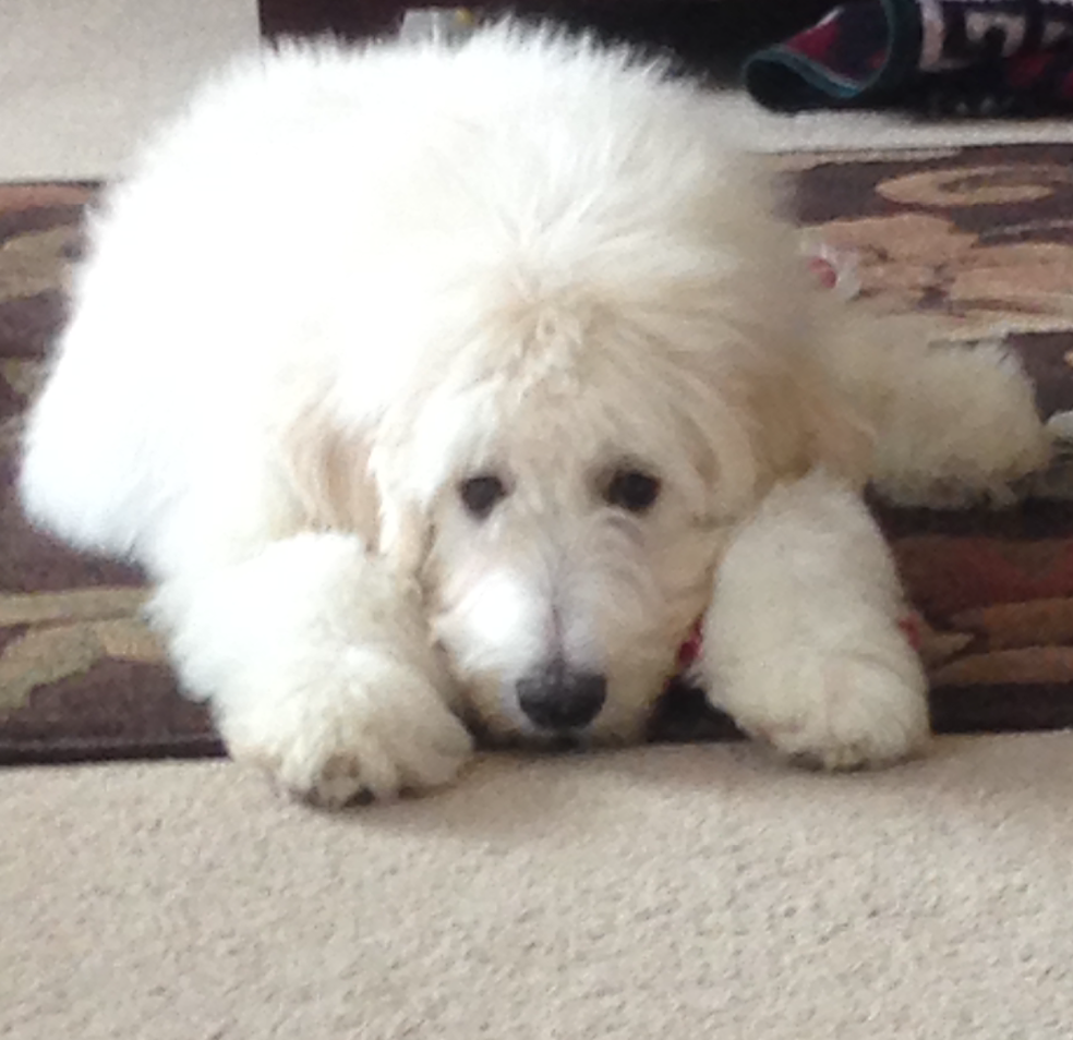 Pyredoodle Great Pyrenees Poodle Cross