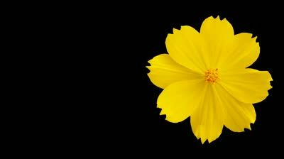 Image Result For Yellow Flowers With Black Background Yellow Flowers Black Backgrounds Background