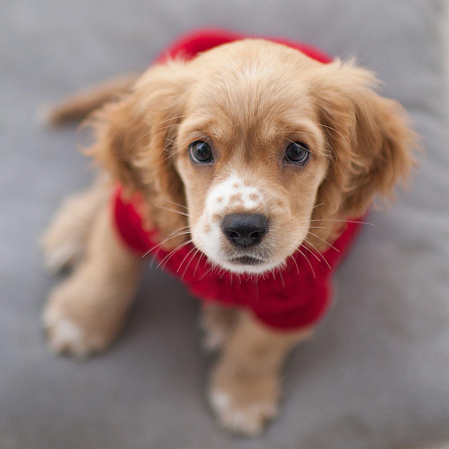 Cocker Spaniel Puppy Puppy Love Pinterest Dog