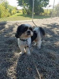 Fond Du Lac Wi Shih Tzu Mix Meet Oreo A Dog For Adoption