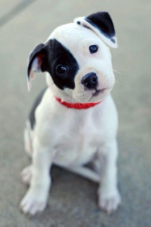 White Black Puppy With Black Eyes Cute Animals Puppies Cute