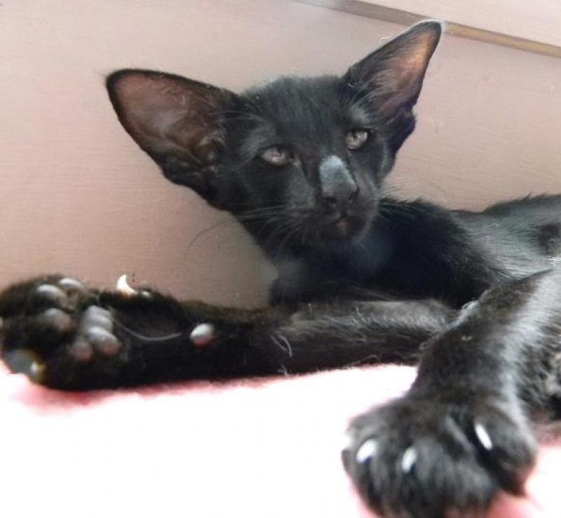♥CG♥ 123 Oriental Longhair Kitten (With images) Kittens