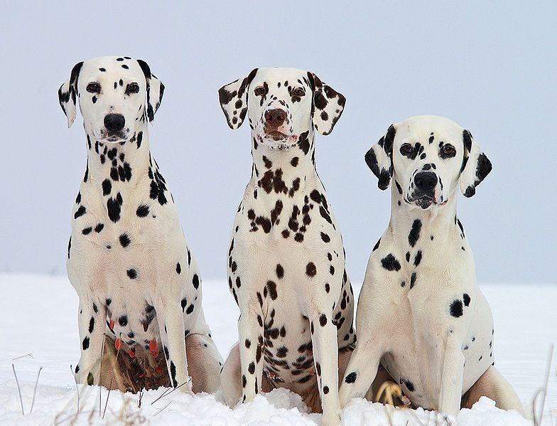 File Dalmatiner Schw Braun Jpg Wikimedia Commons Dalmatiner Dalmatiner Hunde Hunderassen