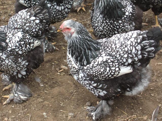 Silver Laced Brahma Pet Chickens Chickens Backyard Hen