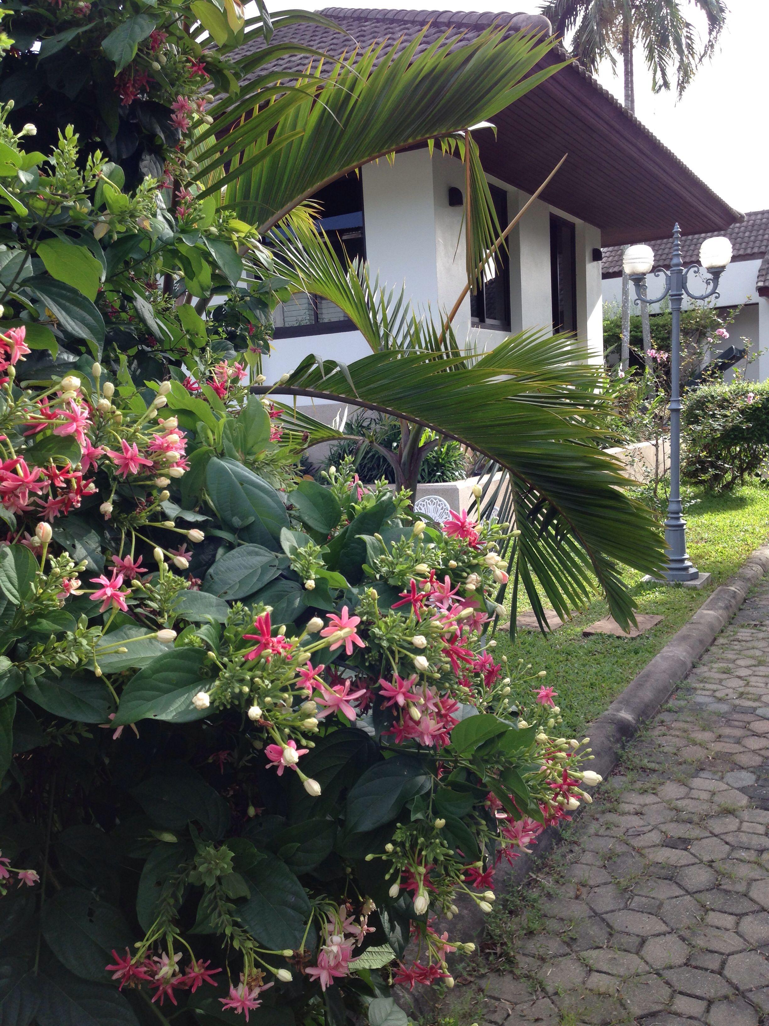 Rangoon creeper   Backyard garden design, Garden design ...